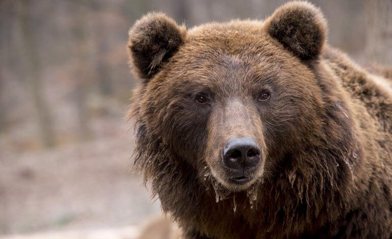 Sospeso l'abbattimento dell'orsa JJ4